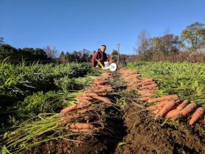 Fall carrot harvest